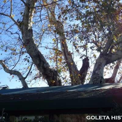 witness tree 6