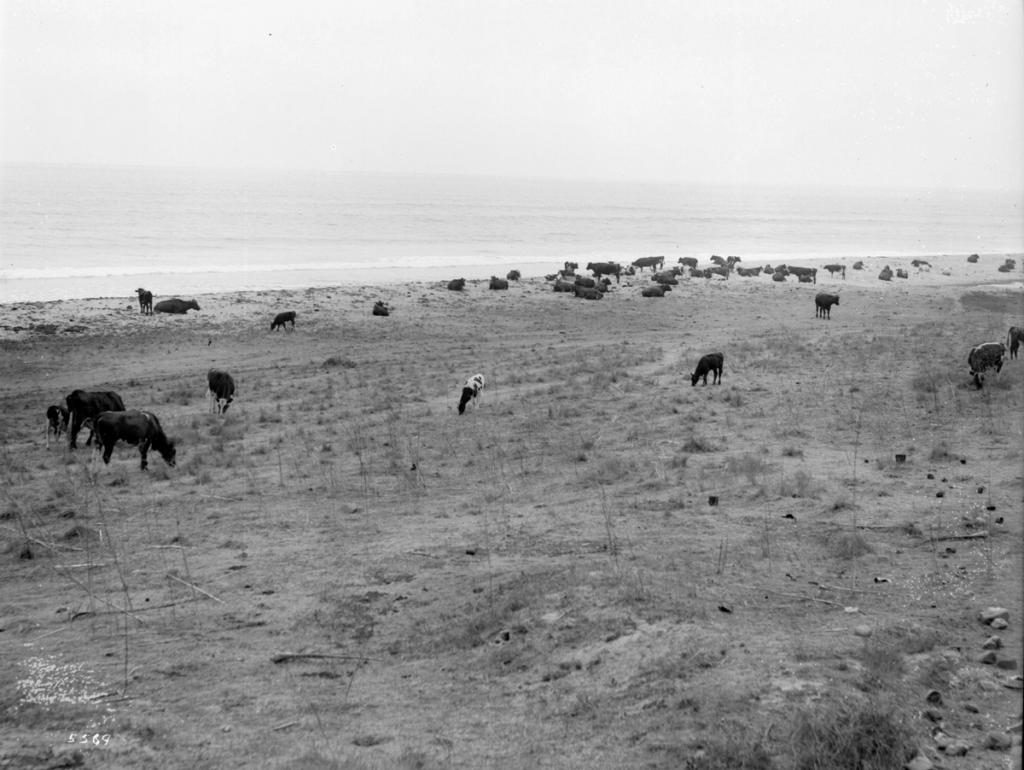 Cattle_grazing_on_the_beach,_California,_ca.1900